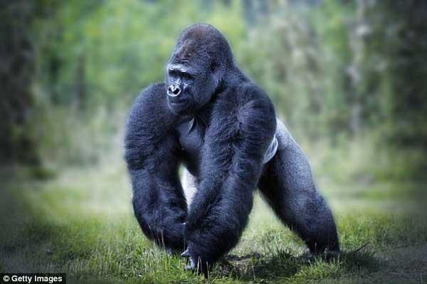 Nằm mơ thấy Gorilla là điềm báo gì? đánh con số nào?