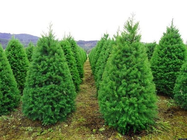 Mơ thấy cây thông có điềm báo gì? đánh con số nào?